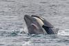 Killer Whale vs. Gray Whale