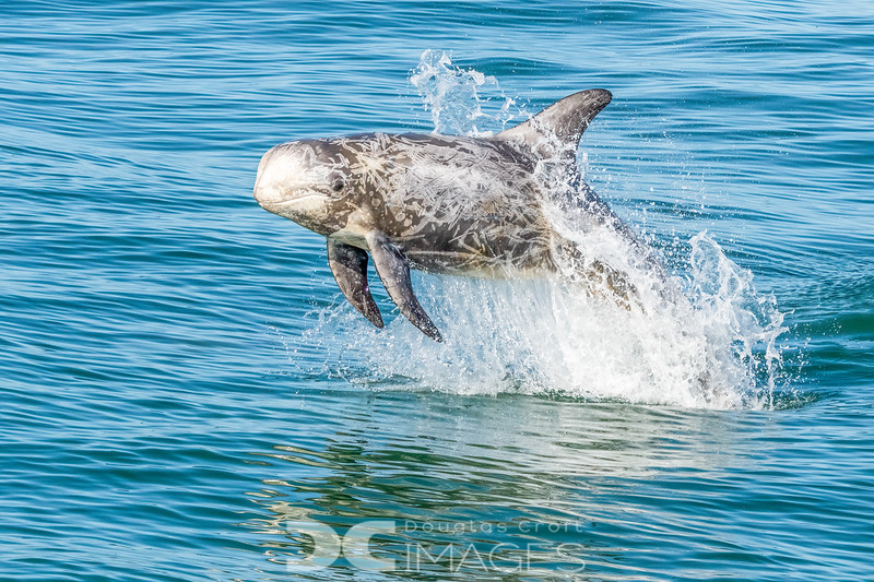 Playful Risso's Dolphin