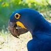 Hyacinth Macaw Feeding
