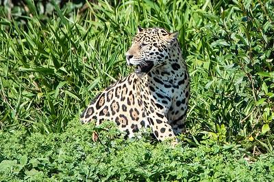 Wary Jaguar