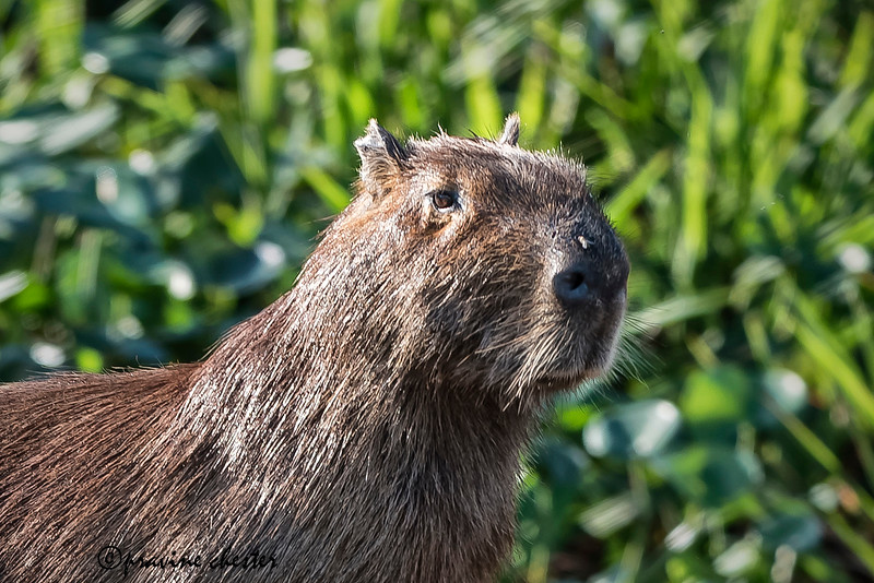 Portrait of a Capybara