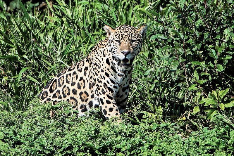 Jaguar look