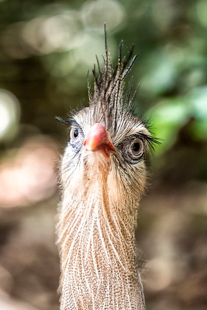 Stare of the Cariama Cristata
