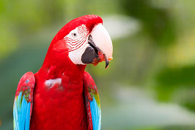 Red and Green winged Macaw