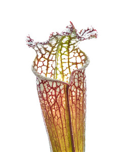 A White-topped pitcher plant (Sarracenia leucophylla) from a roadside drainage ditch in Milton Florida.