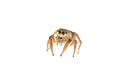 Jumping spiders (Salticidae) are interesting, incredibly diverse, and beautiful. This individual was found while doing blind sweeps with a butterfly net in a deserted lot in the East Hill neighborhood of Pensacola, Florida.
