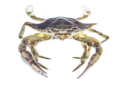 An Atlantic blue crab (Callinectes sapidus) poses for his glamour shot in Little Sabine, near Pensacola Beach. Thanks to special paddle-shaped legs, blue crabs are incredibly apt swimmers.