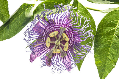 A Purple passion flower (Passiflora incarnata) from the East Hill neighborhood of Pensacola, Florida.