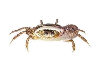 A fiddler crab (Uca longisignalis) from Big Lagoon State Park, near the Florida/Alabama border.