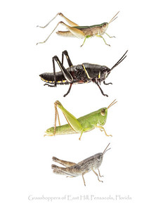 A collection of grasshoppers from the east Hill neighborhood of Pensacola, Florida. All subjects were photographed alive using the field studio technique and then released unharmed.