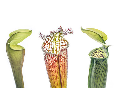 A trio of carnivorous pitcher plants from the Gulf Coast; the pitcher plant capital of the world.