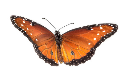 A Queen butterfly (Danaus gilippus) from Naval Live Oaks, part of the Gulf Islands National Seashore system along the Gulf Coast.