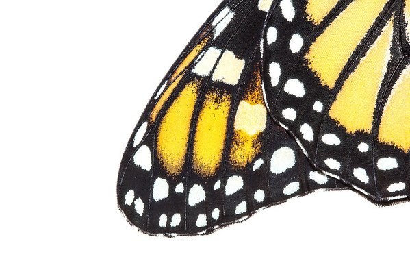 A detailed image of a Monarch butterfly's colorful wing, from Pensacola, Florida. This specimen, as always, was photographed and released unharmed.