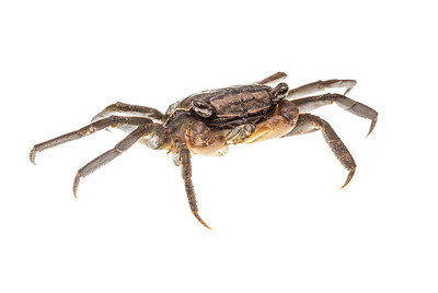 This is a marsh crab (Grapsidae) that resembles fiddler crabs, though they lack the single enormous claw that characterizes true fiddlers.  This individual was found and photographed on the E.O. WIlson boardwalk at the mouth of the Blakeley River, near Spanish Fort, Alabama.