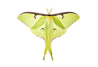 A Luna moth (Actias luna) from Big South Fork National River & Recreation Area, Tennessee.