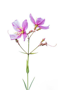 Savannah meadow beauty (Rhexia alifanus) from Tarkiln Bayou State Park near the Florida/Alabama border. These flowers are dependent on the longleaf pine ecosystem.
