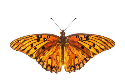 A Gulf fritillary (Agraulis vanillae) from the East Hill neighborhood of Pensacola, Florida.