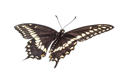 An Eastern black swallowtail butterfly (Papilio polyxenes) from the East Hill neighborhood in Pensacola, Florida.