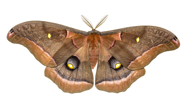 A lovely Polyphemus moth from the Blue Ridge mountains of northeastern Georgia.