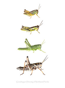 A collection of grasshoppers from the Florida panhandle. All subjects were photographed alive using the field studio technique and then realeased unharmed.