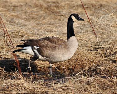 Balanced Goose