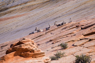 Siesta Sheep Desert Bighorn sheep in Zion National Park, Utah