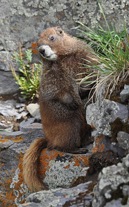 Marmot near Clear Lake, Colorado