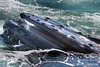 Feeding humpback whale showing its baleen