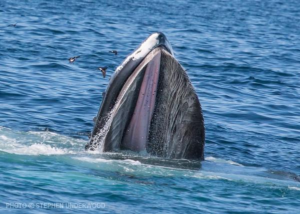 Feeding humpback whale