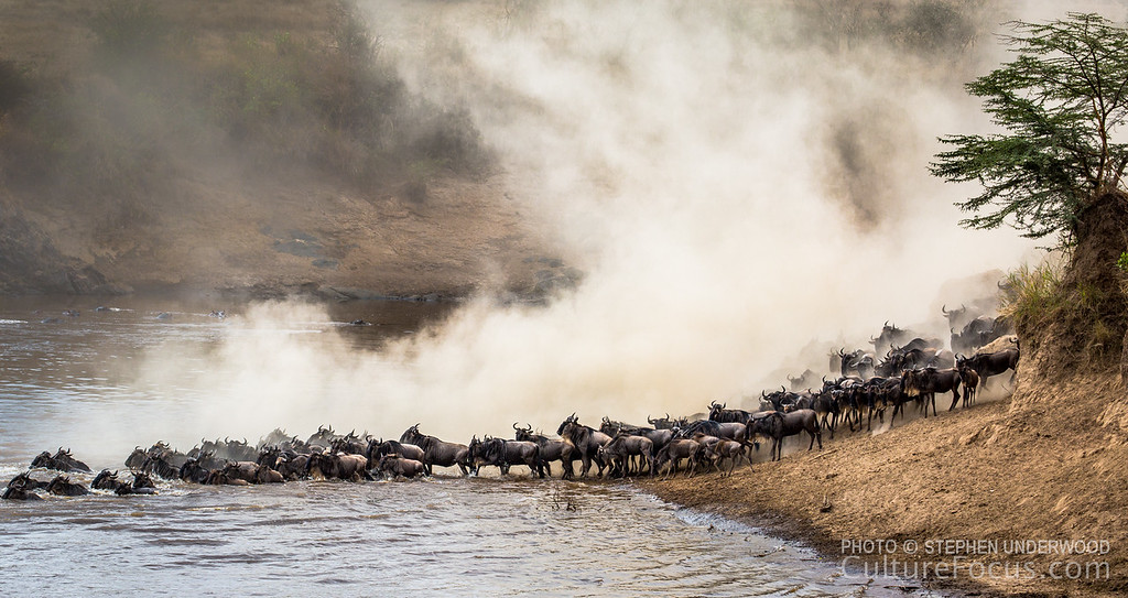 The wildebeest migration, Maasai Mara, Kenya