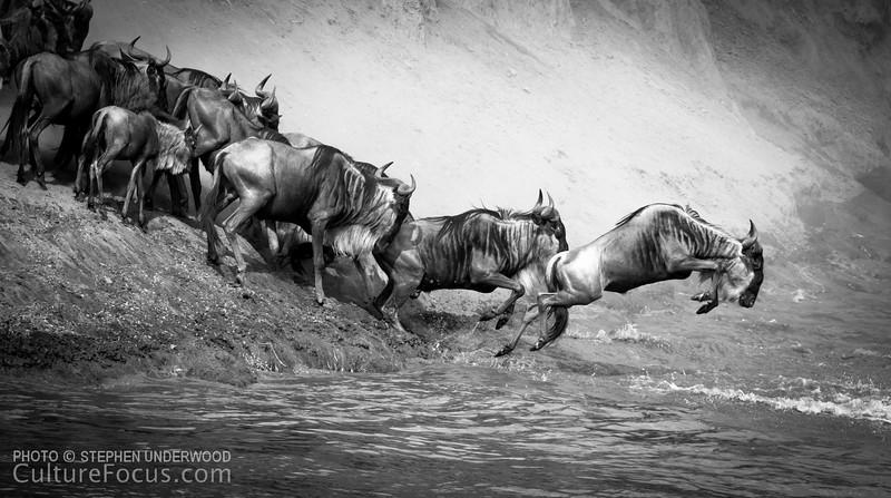 The wildebeest migration, Masai Mara, Kenya