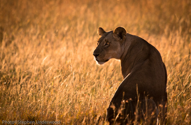 African big cats on the Masai Mara