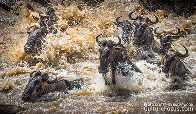 The wildebeest migration, Masai Mara, Kenya