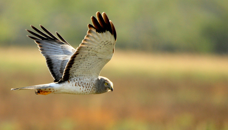Male northern harrier hawk (circus cyaenus) flying over laguna atascosa national park, Texas, USA, november 2012<br /> <br /> Nikon D90, 50-500mm sigma