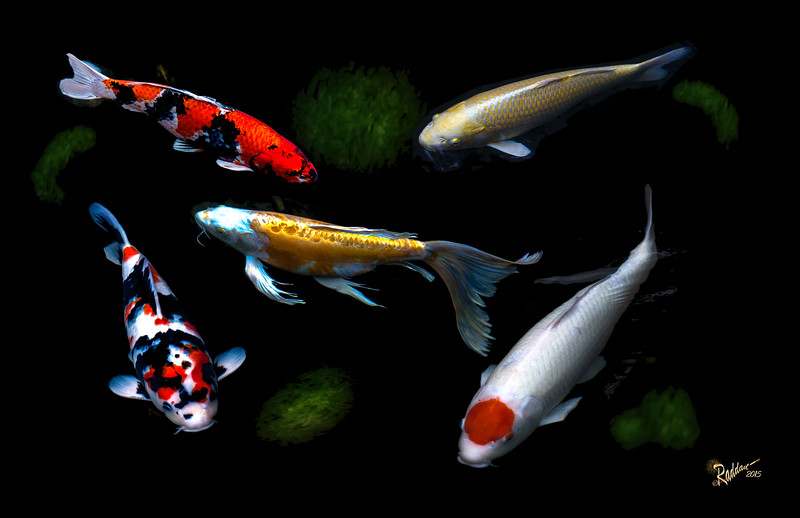 5 Koi in the Portland Japanese Gardens without paint affect
