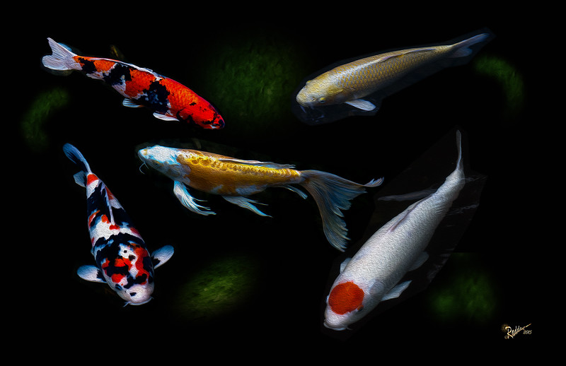 5 Koi in the Portland Japanese Gardens with oil paint effect
