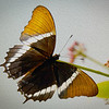 Butterfly - 011 with paint affect