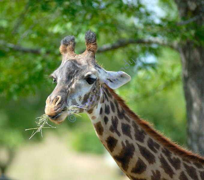 Wendy's Giraffe ?