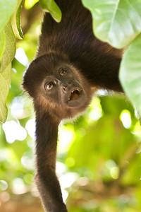 """Family Tree"", Howler monkey in trees, Playa Grande, Costa Rica"