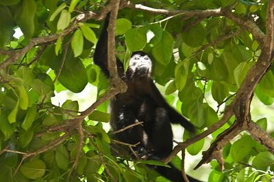 Howler Monkey, Costa Rica near Playa Grande 7/06/2008