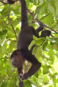 """Cousin Howler""  Howler Monkey, Playa Grande 7/06/2008"