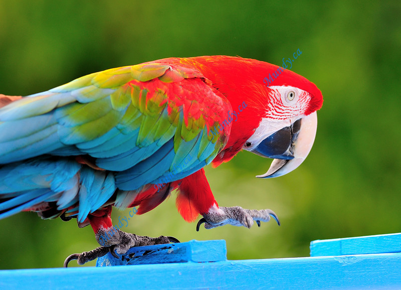 Green Wing Macaw.