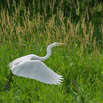 2009 Egrets and Herons