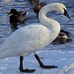 2012 Monticello Swans