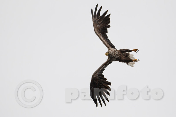 2014-07-18 White Tailed Eagles and Seagulls at Smøla