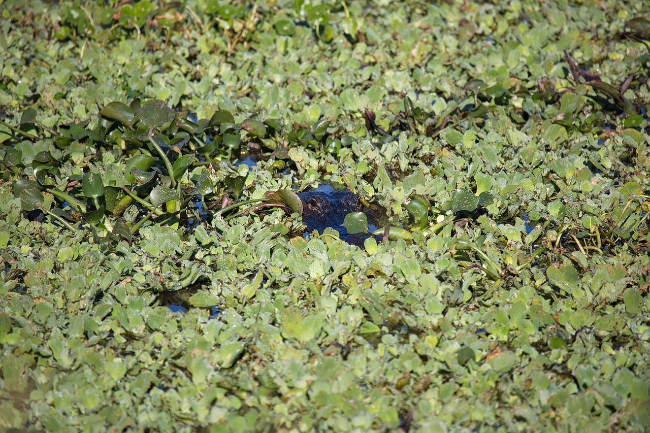 Just a little hole in the pond cover is all this alligator needs to look for some casual stroller to eat.