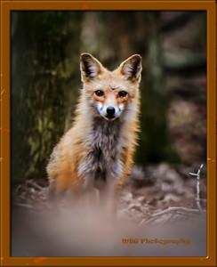 2015 Red Fox Photos