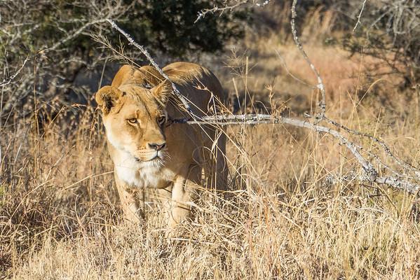 Walk_lions-033