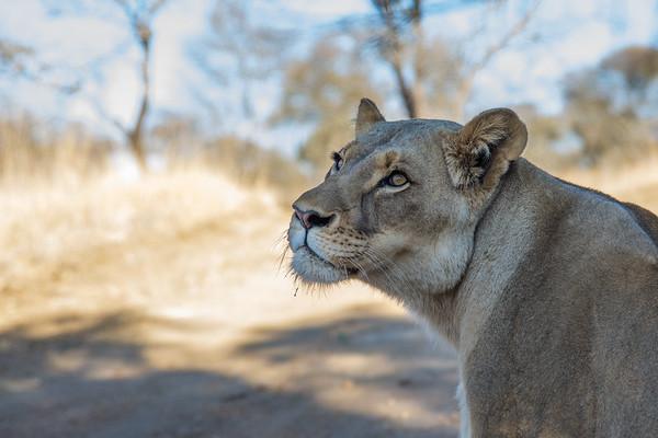 Walk_lions-060