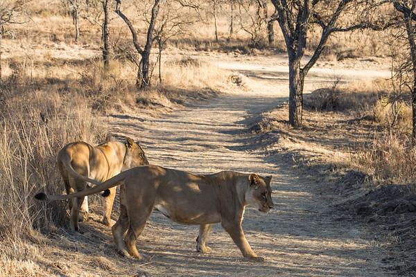 Walk_lions-007
